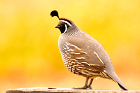 California Icon-Quail
