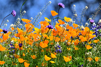 California Color-Poppies